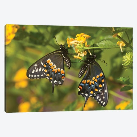 Black Swallowtail Butterflies Pollinating New Gold Lantana Flowers In A Garden, Marion County, Illinois, USA Canvas Print #PIM15928} by Panoramic Images Art Print