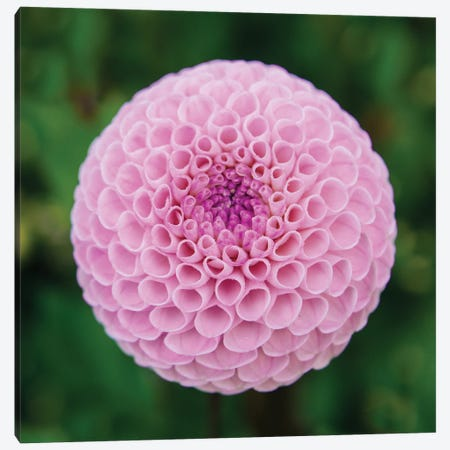 Close Up Of Blooming Pink Dahlia In Rhododendron Garden, Point Defiance Park, Tacoma, Washington, USA Canvas Print #PIM15931} by Panoramic Images Canvas Artwork
