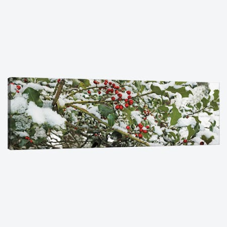 Close-Up Of Holly Berries Covered With Snow On A Tree Canvas Print #PIM15934} by Panoramic Images Canvas Art Print