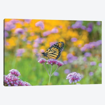Close-Up Of Monarch Butterfly On Wildflower, Boothbay Harbor, Maine, USA Canvas Print #PIM15935} by Panoramic Images Art Print