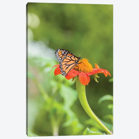 Close-Up Of Monarch Butterfly Perching On Flower, Northeast Harbor, Maine, USA Canvas Print #PIM15936} by Panoramic Images Canvas Art Print