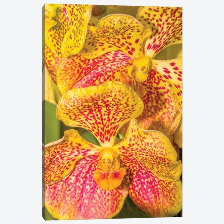 Close-Up Of Orchid Flowers, Sarasota, Florida, USA Canvas Print #PIM15938} by Panoramic Images Canvas Wall Art