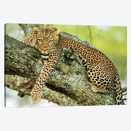 Leopard  On Tree, Serengeti National Park, Tanzania, Africa 3-Piece Canvas #PIM15988} by Panoramic Images Art Print