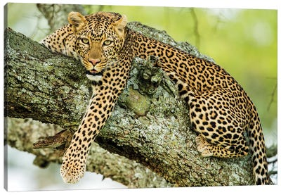 Leopard  On Tree, Serengeti National Park, Tanzania, Africa Canvas Art Print
