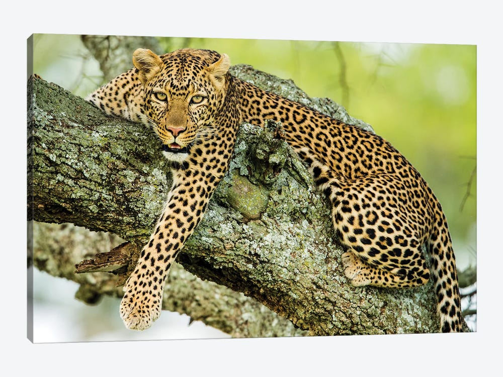 Leopard  On Tree, Serengeti National Park, Tanzania, Africa by Panoramic Images 1-piece Canvas Wall Art