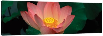 Lotus Blooming In A Pond Canvas Art Print