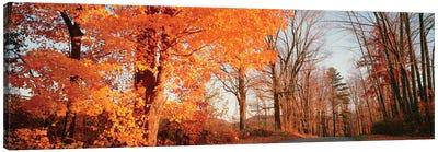 Maple Tree In Autumn, Litchfield Hills, Connecticut, USA Canvas Art Print