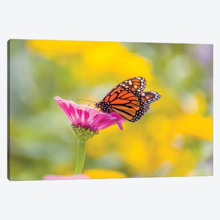 Monarch Butterfly  Perching On Flower, Northeast Harbor, Maine, USA Canvas Print #PIM15997} by Panoramic Images Canvas Print