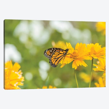 Monarch Butterfly  Perching On Yellow Flower, Northeast Harbor, Maine, USA Canvas Print #PIM15998} by Panoramic Images Canvas Wall Art