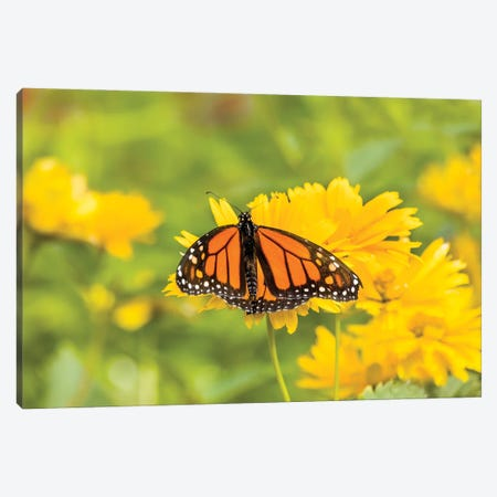 Monarch Butterfly  Perching On Yellow Flower, Northeast Harbor, Maine, USA Canvas Print #PIM15999} by Panoramic Images Canvas Art
