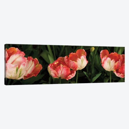 Parrot Tulips In Skagit Valley, Washington, USA Canvas Print #PIM16005} by Panoramic Images Canvas Print