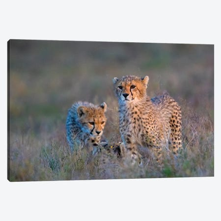 Photograph Of Two Cheetahs , Ngorongoro Conservation Area, Tanzania, Africa 3-Piece Canvas #PIM16006} by Panoramic Images Canvas Print