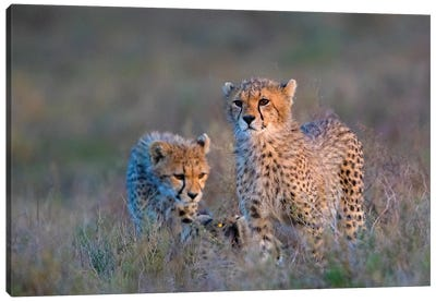 Photograph Of Two Cheetahs , Ngorongoro Conservation Area, Tanzania, Africa Canvas Art Print