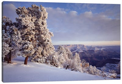 Pinyon Pine Trees Covered In Snow In Winter, South Rim, Grand Canyon National Park, Arizona, USA Canvas Art Print