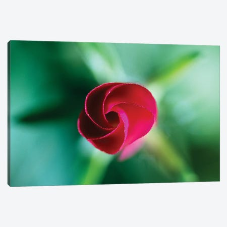 Red Rose Bud Blooming, Selective Focus Canvas Print #PIM16013} by Panoramic Images Art Print