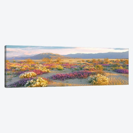 Sand Verbena And Primrose Growing In Sand Dunes Of Anza-Borrego Desert State Park, California, USA Canvas Print #PIM16020} by Panoramic Images Canvas Artwork