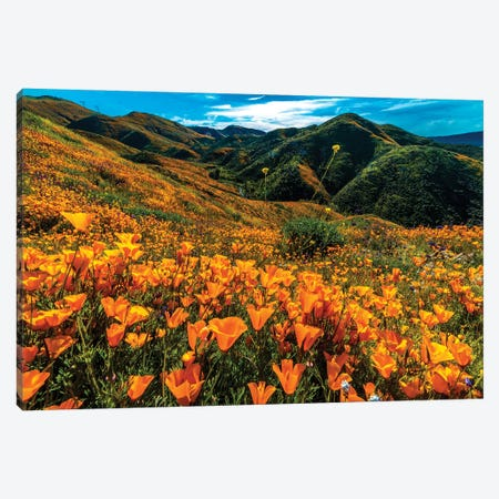 Super Bloom Of California Poppies In Walker Canyon, California, USA Canvas Print #PIM16036} by Panoramic Images Canvas Art