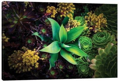 Various Succulent Plants In Garden, Oakland, California, USA Canvas Art Print