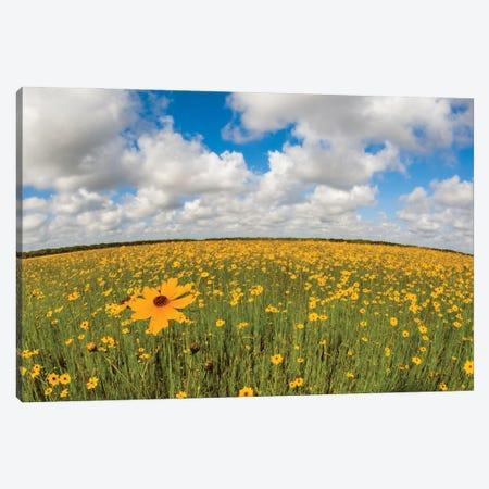 View Of Wildflowers Florida Tickseed , Myakka River State Park, Sarasota, Florida, USA Canvas Print #PIM16073} by Panoramic Images Canvas Art Print