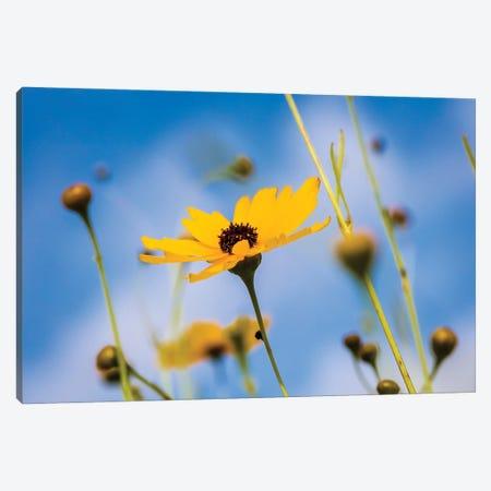 View Of Wildflowers Florida Tickseed , Myakka River State Park, Sarasota, Florida, USA Canvas Print #PIM16075} by Panoramic Images Canvas Wall Art