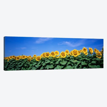 Field Of Sunflowers, Bogue, Kansas, USA Canvas Print #PIM160} by Panoramic Images Canvas Art Print