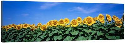 Field Of Sunflowers, Bogue, Kansas, USA Canvas Print #PIM160