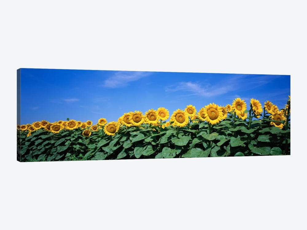 Field Of Sunflowers, Bogue, Kansas, USA by Panoramic Images 1-piece Canvas Print