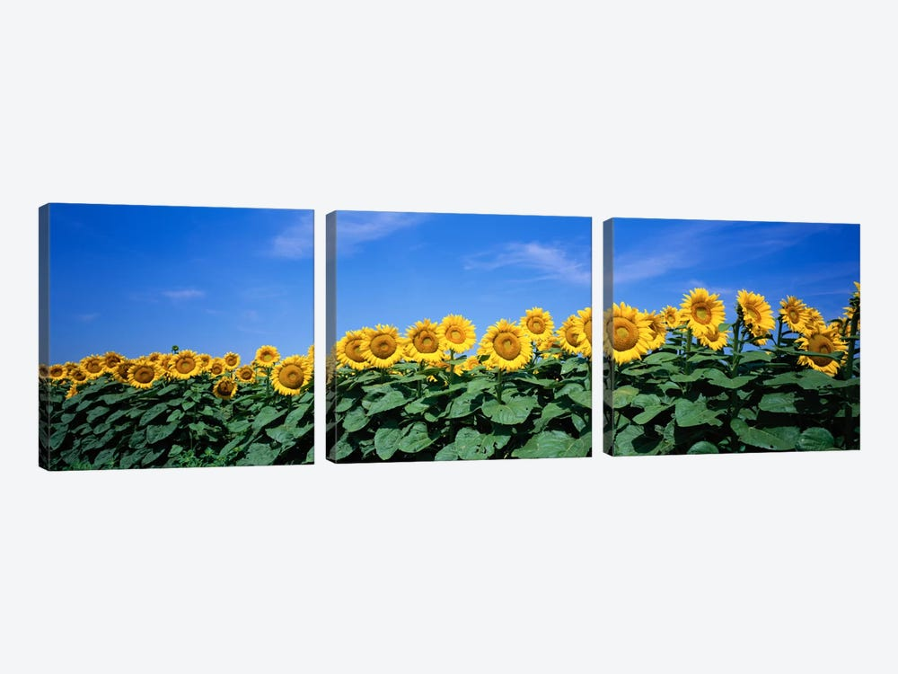 Field Of Sunflowers, Bogue, Kansas, USA by Panoramic Images 3-piece Art Print