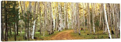 Aspen Trees In A Forest, Dixie National Forest, Utah, USA Canvas Art Print