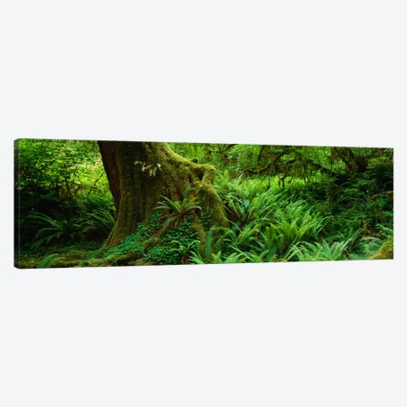 Ferns and vines along a tree with moss on it, Hoh Rainforest, Olympic National Forest, Washington State, USA Canvas Print #PIM1612} by Panoramic Images Canvas Artwork