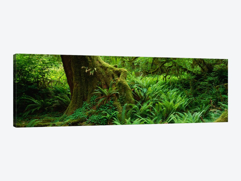 Ferns and vines along a tree with moss on it, Hoh Rainforest, Olympic National Forest, Washington State, USA by Panoramic Images 1-piece Canvas Print