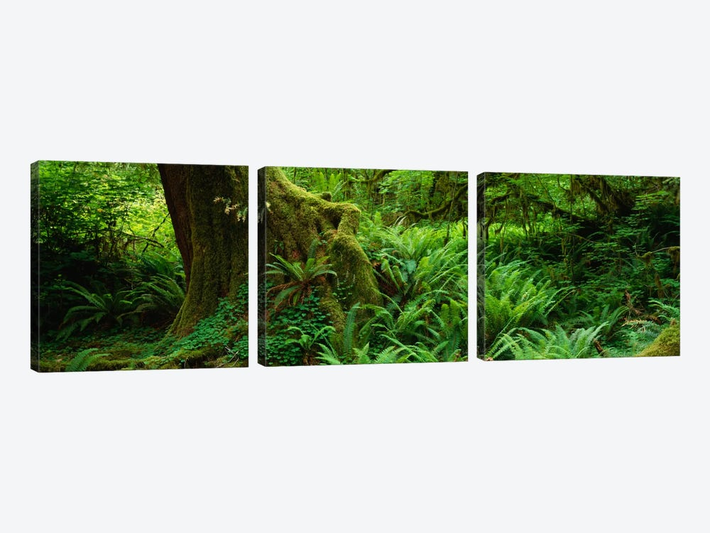 Ferns and vines along a tree with moss on it, Hoh Rainforest, Olympic National Forest, Washington State, USA by Panoramic Images 3-piece Art Print