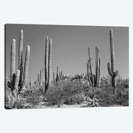 Cardon Cacti In Desert, Mexico Canvas Print #PIM16131} by Panoramic Images Canvas Artwork