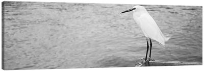 Close Up Of A Snowy Egret, Gulf Of Mexico, Florida, USA Canvas Art Print