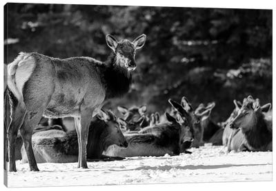 Elk Or Wapiti On Snow Covered Landscape, Alberta, Canada Canvas Art Print