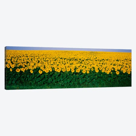 Sunflower Field, Maryland, USA Canvas Print #PIM1745} by Panoramic Images Canvas Art Print