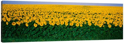 Sunflower Field, Maryland, USA Canvas Art Print