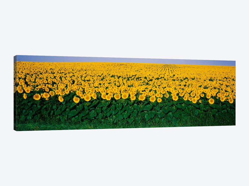 Sunflower Field, Maryland, USA by Panoramic Images 1-piece Canvas Artwork