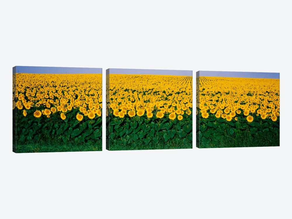 Sunflower Field, Maryland, USA by Panoramic Images 3-piece Canvas Artwork