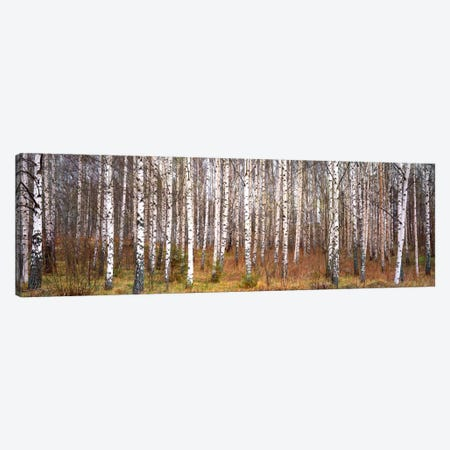 Silver birch trees in a forestNarke, Sweden Canvas Print #PIM175} by Panoramic Images Art Print