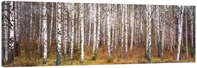Silver birch trees in a forestNarke, Sweden by Canvas Prints by Panoramic Images Canvas Art Print