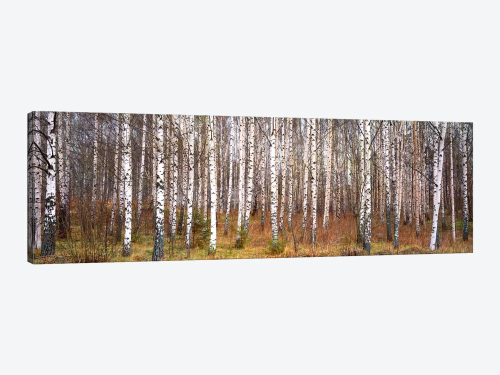 Silver birch trees in a forestNarke, Sweden by Panoramic Images 1-piece Art Print