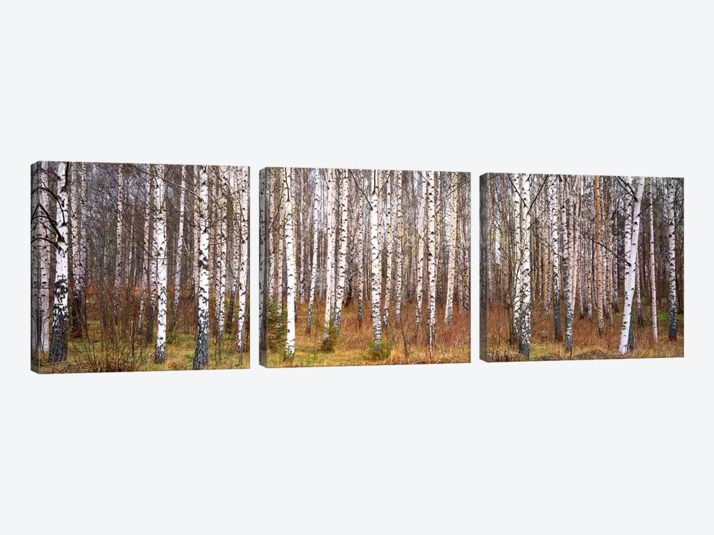 Silver birch trees in a forestNarke, Sweden by Panoramic Images 3-piece Canvas Print