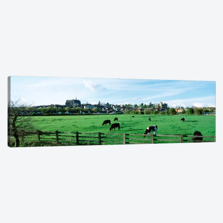 Cows grazing in a field with a city in the background, Arundel, Sussex, West Sussex, England Canvas Print #PIM1811} by Panoramic Images Canvas Wall Art