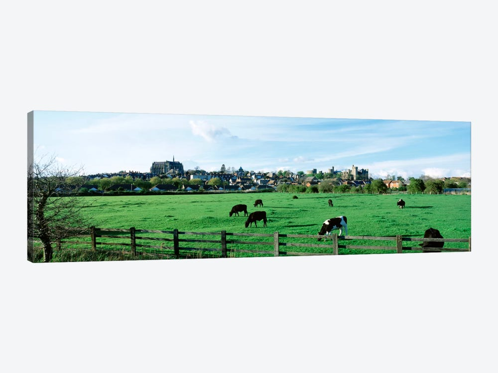 Cows grazing in a field with a city in the background, Arundel, Sussex, West Sussex, England by Panoramic Images 1-piece Canvas Print