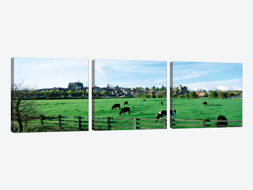 Cows grazing in a field with a city in the background, Arundel, Sussex, West Sussex, England by Panoramic Images 3-piece Art Print