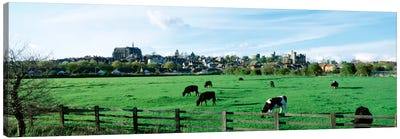 Cows grazing in a field with a city in the background, Arundel, Sussex, West Sussex, England Canvas Art Print