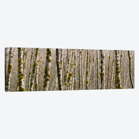 Trees in the forest, Red Alder Tree, Olympic National Park, Washington State, USA Canvas Print #PIM1828} by Panoramic Images Canvas Art Print