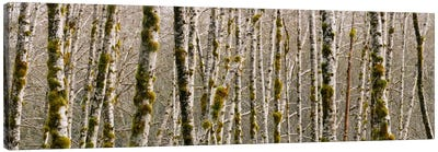 Trees in the forest, Red Alder Tree, Olympic National Park, Washington State, USA Canvas Art Print