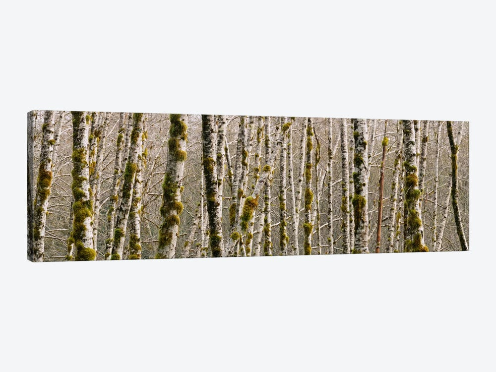 Trees in the forest, Red Alder Tree, Olympic National Park, Washington State, USA by Panoramic Images 1-piece Art Print